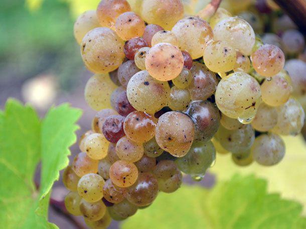 reisling grape